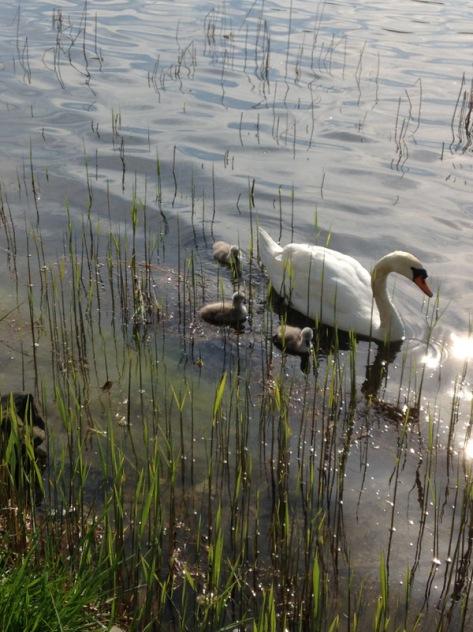 The swans behind the Kurhouse